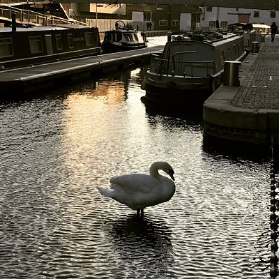 Canal swan resized